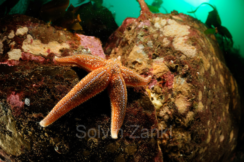 Common Starfish or Common Sea Star  (Asterias rubens), Atlantic Ocean, Strømsholmen, North West Norway | Gemeine Seestern (Asterias rubens),  Atlantischer Ozean, Strømsholmen, Nordwestküste von Norwegen