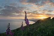 Foxgloves (Digitalis spp.) in full bloom at sunset, overlooking Whitsand Bay in Cornwall, UK.