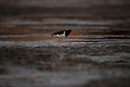 Haematopus finschi (South Island pied oystercatcher)