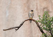 Peregrine falcon, adult female perched on a low tree branch with a cliff in the background. She is perched low to watch over one of her young that fledged early, not yet able to fly, and is perched near the base of the cliff. © 2015 David A. Ponton [Prints to 8x12, 16x24, 24x36 or 40x60 in. with no cropping]