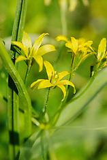 Liliaceae, Lelie familie
