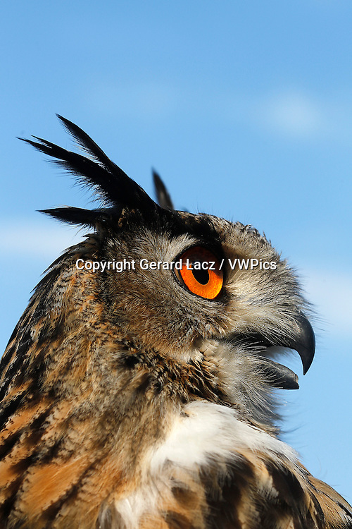 European Eagle Owl, asio otus, Portrait of Adult