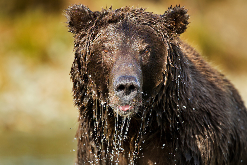 USA, Alaska, Katmai National Park, Close-up of Coastal Brown Bear (Ursus arctos)  dripping with water while fishing for spawning salmon in stream along Kinak Bay