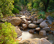 0103-1010 ~ Copyright: George H. H. Huey ~ Ryholite Creek with Schotts yucca [Yucca schottii], pointleaf manzanita [Arctostaphylos pringlei] oaks [Quercus spp.], apache pine [Pinus engelmannii]. Chiricahua National Monument, Arizona.