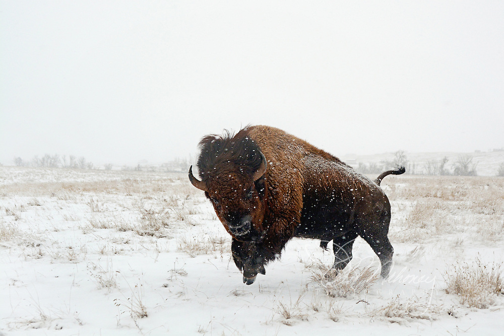 This buffalo bull dances in the snow, challenging the frigid tempatures of a South Dakota winter.