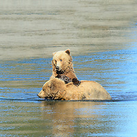 Two sub-adult grizzly bears playing in the  waters of Silver Salmon Creek in Lake Clark National Park Alsaka.