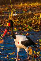 Saddle-billed stork in a shallow stream, near Kwara Camp, Okavango Delta, Botswana.
