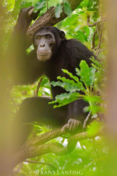 Chimpanzee male in tree, Pan troglodytes verus, Fongoli, Senegal