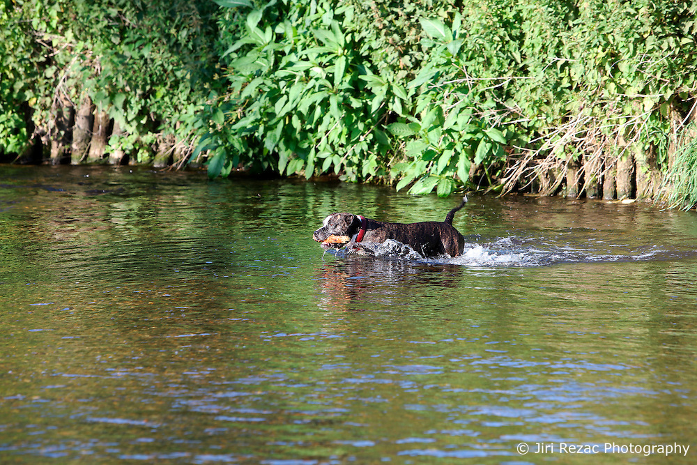 UK ENGLAND LEICESTERSHIRE AYLESTONE 30JUN15 - A dog enjoys himself at the river Soar at Aylestone Meadows in Leicestershire.<br /> <br /> jre/Photo by Jiri Rezac / WWF UK<br /> <br /> © Jiri Rezac 2015