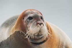 Bearded seal (Erignathus barbatus) in Svalbard, Norway
