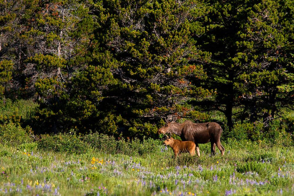 Moose, Glacier National Park