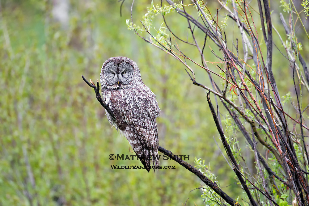 Great Grey Owl in Western Wyoming.