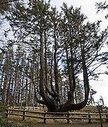 The Octopus Tree is a large Sitka Spruce (Picea sitchensis) branched like a candelabra, at Cape Meares State Scenic Viewpoint, Oregon, USA. Its base circumference is more than 50 feet. Native Americans, who have lived here for 3000 years, call this the Council Tree. Indian legend says this tree was used for supporting a canoe which held their dead, an ancient custom. Another theory is that coastal winds warped the tree.