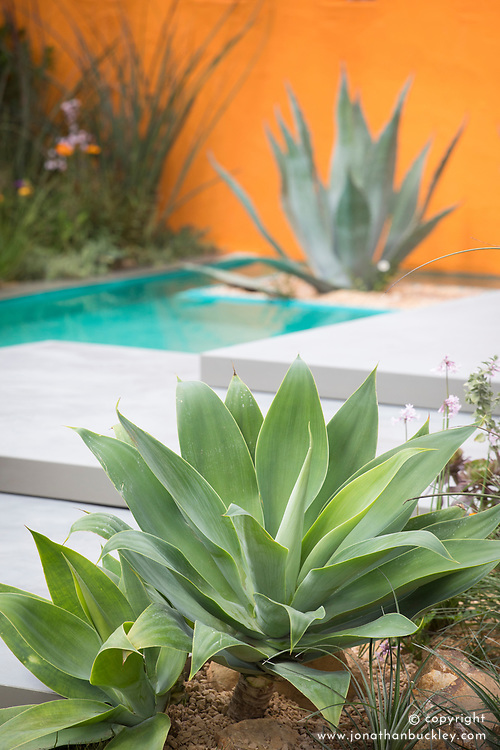 Agave attenuata<br /> Beneath a Mexican Sky Garden<br /> RHS Chelsea Flower Show 2017<br /> Design: Manoj Malde<br /> Built by: Living Landscapes<br /> Sponsored by: Inland Homes PLC<br /> Photography &copy; Copyright Jonathan Buckley
