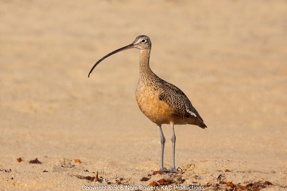 Long-billed Curlew <br /> Numenius americanus <br /> San Diego, California, United States <br /> 12 September     Adult          Scolopacidae
