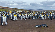 Breeding colony of King Penguins (Aptenodytes patagonicus patagonicus) at Volunteer Point, the Falklands.