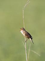 Reed Warbler singing, Acrocephalus scirpaceus, Eastern Slowakia, Europe, Teichrohrsänger singt, Acrocephalus scirpaceus, Slowakei, Europa