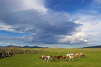 Mongolie, Province de Ovorkhangai, Vallee de l'Orkhon, troupeau de chevaux // Mongolia, Ovorkhangai province, Okhon valley, horse drove
