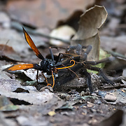 Wasp kills tarantula. A tarantula hawk wasp is a spider wasp (Pompilidae) that hunts tarantulas. Tarantula hawks belong to any of the many species in the genera Pepsis and Hemipepsis. They are parasitoid wasps, using their sting to paralyze their prey before dragging it to a brood nest as living food; a single egg is laid on the prey, hatching to a larva which eats the still-living prey. Kaeng Krachan National Park, Thailand.