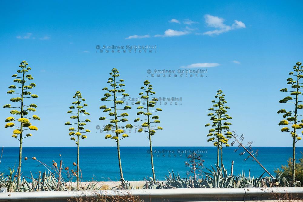 Strada Statale Jonica, 03/07/2017: Fiori delle agavi sul litorale del mar Jonio, SS 106.<br /> &copy; Andrea Sabbadini
