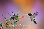 01162-089.17 Ruby-throated Hummingbird (Archilochus colubris) male on Cigar Plant (Cuphea ignea) Shelby Co.  IL