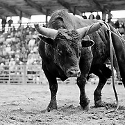 After it tossed it's rider, officials decided to let this bull enjoy it's moment of victory, after several attempts to corral him failed.<br /> Augusta Rodeo 2011.