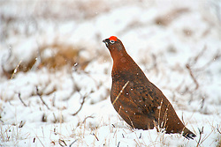 A Red Grouse in the Cairngorms in snowy conditions as Storm Doris hits the UK. 23rd Feb 2017 (c) Brian Anderson | Edinburgh Elite media