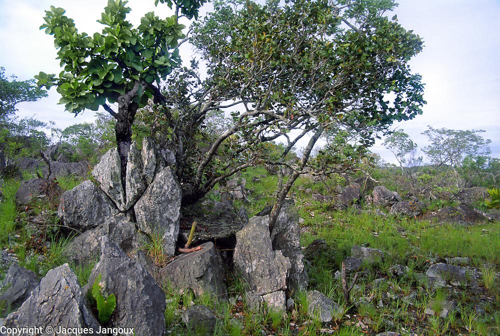Savanna (called cerrado in Brazil) biome: saxicolous vegetation (campos rupestres): vegetation among rocks. Brazilian Highlands, Goias State, Brazil. Tree at left is Wunderlichia crulsiana (Compositae - Asteraceae).