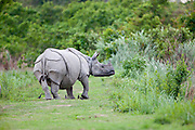 Indian Rhinoceros followed by Myna birds.   A symbiotic relationship, Kaziranga National Park, Assam, India.