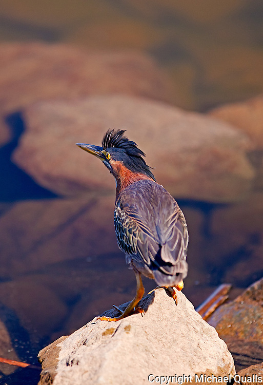 Green Backed Heron, agitated by dogs and just before flight. Lake Murray, CA.  USA