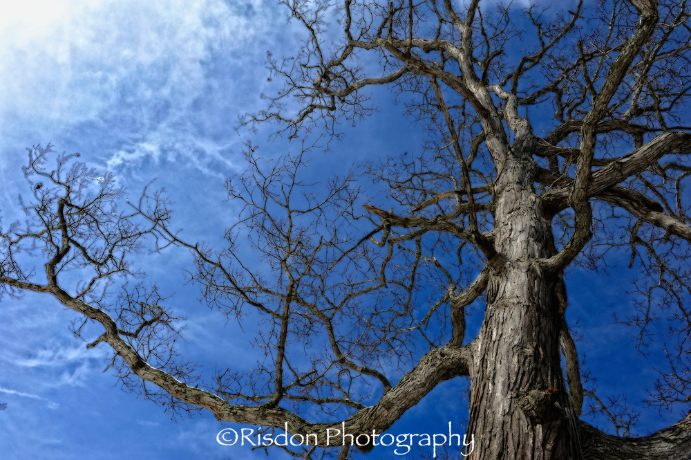 Giant bare tree against dark blue sky