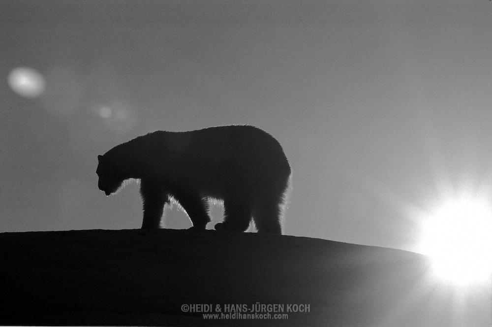 Schweden, SWE, Kolmarden, 2000: Die Silhouette eines Eisbaeren (Ursus maritimus) bei Sonnenuntergang, Kolmardens Djurpark. | Sweden, SWE, Kolmarden, 2000: Polar bear, Ursus maritimus, walking on top of a hill at sunset, silhouette, Kolmardens Djurpark. |
