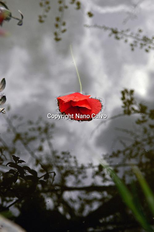 Red poppy flower floating on water