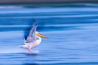 Great White Pelican landing on De Hoop vlei, De Hoop Nature Reserve, Western Cape, South Africa