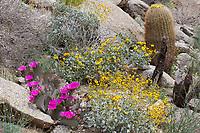Opuntia basilaris (Beavertail cactus) at Plum Canyon, San Diego Co, CA, USA, on 09-Apr-17