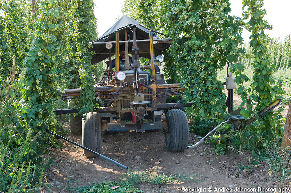 Hops harvest, Yakima, Washington