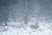 Roe Deer (Capreolus capreolus) doe standing in a bracken field during a snowstorm in the Amsterdamse waterleidingduinen, The Netherlands.