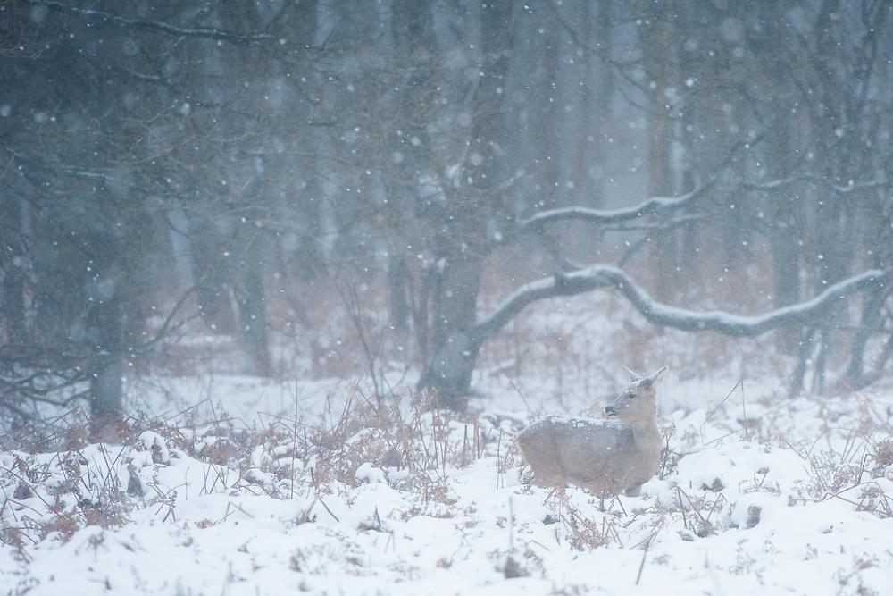 Roe Deer (Capreolus capreolus) doe standing in a bracken field during a snowstorm in the Amsterdamse waterleidingduinen, The Netherlands.