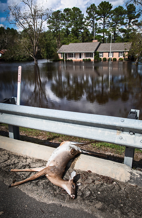 Dead deer in front of flooded home following Hurricane Florence.