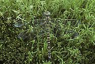 Common Hawker - Aeshna juncea