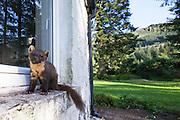 Pine marten (Martes martes) on windowsill of house, Ardnamurchan, Scotland.