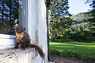 Pine marten (Martes martes) on windowsill of house, Ardnamurchan, Scotland.