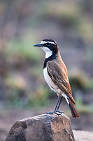 Capped Wheatear, Pilanesberg National Park, North West, South Africa