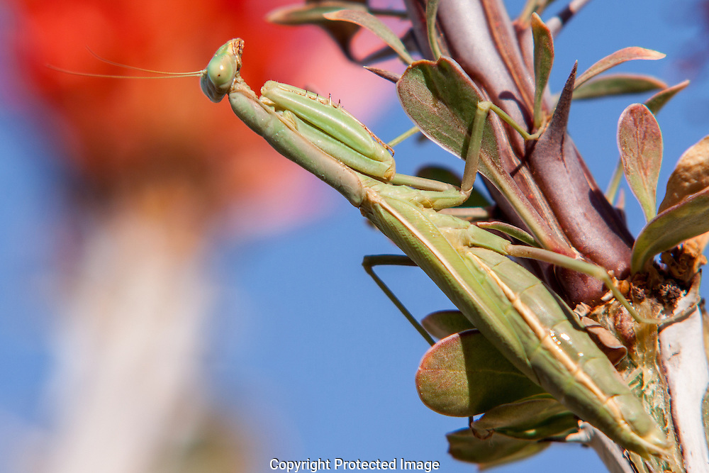 The Praying Mantis is a ferocious hunter and stalks prey up to the size of hummingbirds