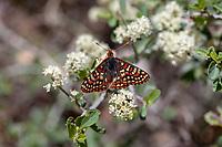 Euphydryas editha augustina (Edith's Checkerspot) at Wildhorse Meadows, San Bernardino Co, CA, USA, on Hoaryleaf ceanothus 03-Jun-18