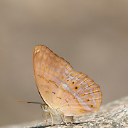 The Common Yeoman Butterfly, Cirrochroa tyche rotundata