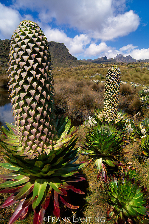 Lobelia flower, Lobelia deckenii, Mt Kenya National Park, Kenya