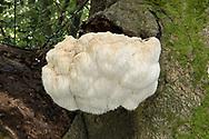 Bearded Tooth - Hericium erinaceus
