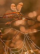 Bandheidelibel in ochtenddauw op spinnenweb; Banded Darter in morning dew on a Spider web