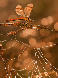 Bandheidelibel in ochtenddauw op spinnenweb; Banded Darter in morning dew on a Spider web